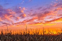 indiana wheat field